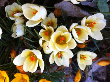 creamy white crocuses