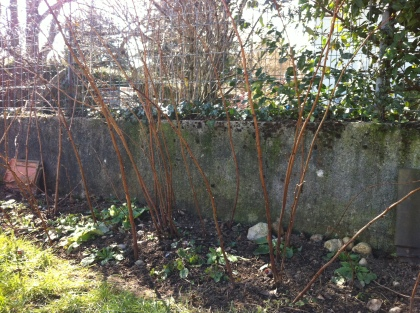nude rasberry canes