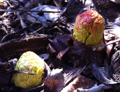 rhubarb brains