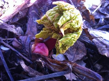 rhubarb unfurls