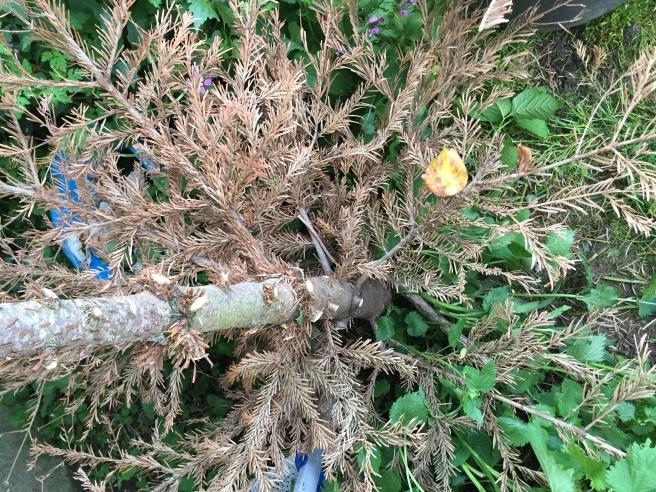 xmas tree dried up